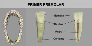 11_PrimPremolar_Inf