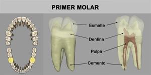 13_PrimMuela_Inf