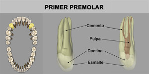 4_PrimPremolar_superior