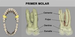 6_PrimMolar_superior